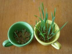 Обработка семян озимой пшеницы